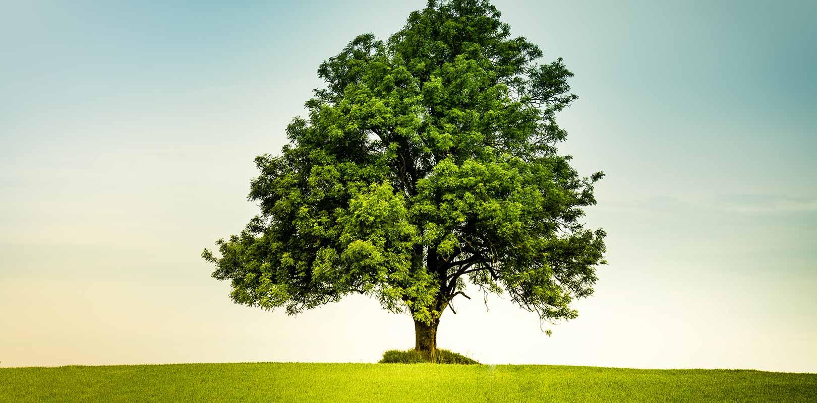 Oak Tree standing in a field of grass